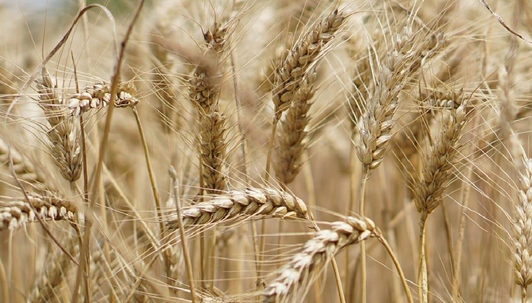 фото із зображенням поля з колосками та зернами
